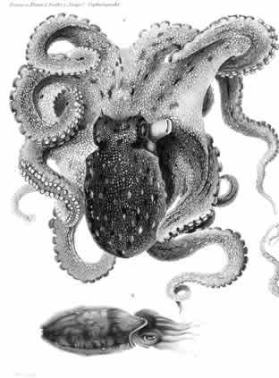 Monografia de I Cefalopodi del Golfo di Napoli - 1896 - Tavola di Comingio Merculiano